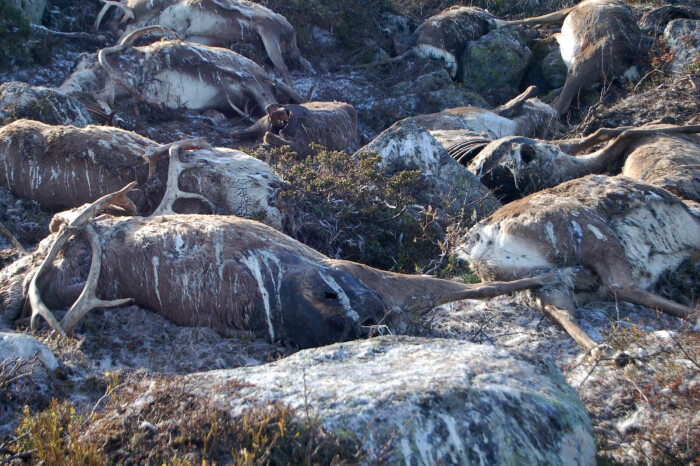 Hva skjer med naturen når 300 reinsdyr blir drept av et lynnedslag?