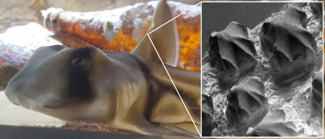 Visste du at huda til ein hai er like skarpt som eit barberblad? (Foto: Adam Fahy)