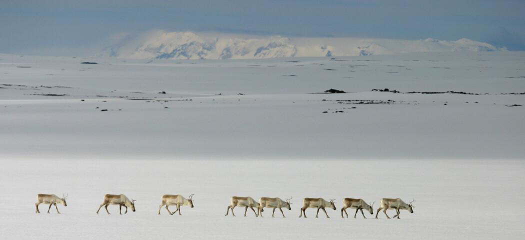 Reinsdyra måtte tilpasse seg forholdene i sitt nye hjemland. (Foto: Skarphedinn G. Thorisson)