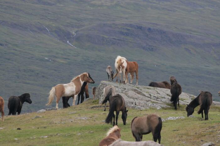 En reinkalv forvillet seg inn i et gjerde med hest, og ble etterhvert akseptert. (Foto: Skarphedinn G. Thorisson)