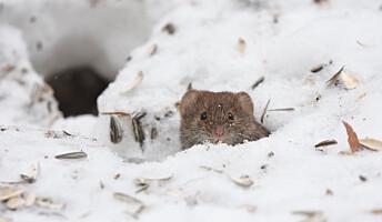 Er det mer mus i høyden?
