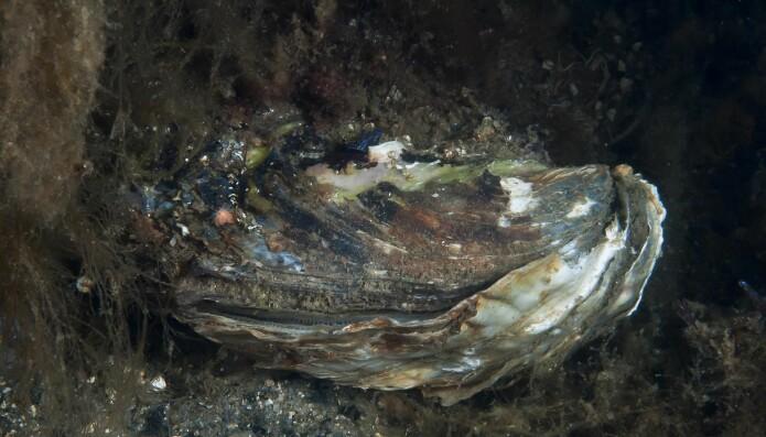 Stillehavsøsters formerer seg raskt. I enkelte områder konkurrerer arten sterkt med skjellarter som f.eks. blåskjell, og medfører tap av biologisk mangfold. I enkelte områder gjør den også strendene ubrukelige for badegjester. Arten er vurdert til svært høy risiko i Fremmedartslista 2018.