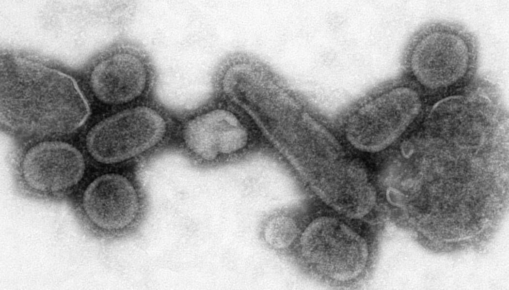 Hvordan kan virus gjøre oss så syke? Og hvorfor virker ikke antibiotika mot dem? (Bildet viser en versjon av viruset som forårsaket spanskesyken, gjenskapt av forskere ved Centers for Disease Control and Prevention.)