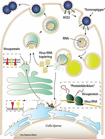Koronaviruset kommer seg inn i cellen og får cellen til å produsere nye viruspartikler. Trykk på bildet for å se større versjon.