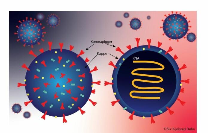 I tillegg til «koronapiggene» består koronavirus av en kuleformet kappe av fett som omgir arvestoffet (RNA). Viruset har også andre proteiner i tillegg til «koronapiggene», blant annet noen proteiner i overflaten som er med på å gi viruset kulefasong.