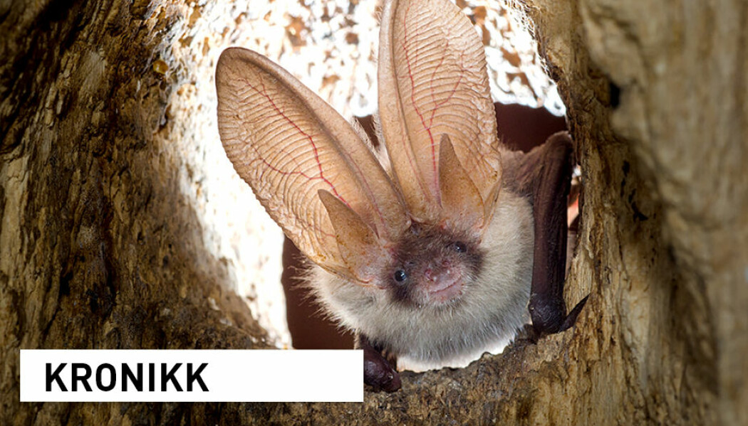 Stemmer det at flaggermus er årsaken til koronapandemien?
