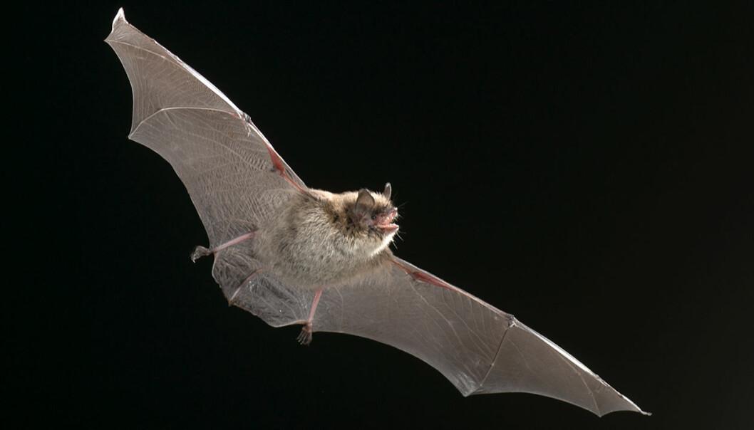 Flaggermusenes unike flyveegenskaper blir lagt til grunn for utvikling av en ny generasjon droner. Bildet viser en skogflaggermus og er tatt i Aurskog.
