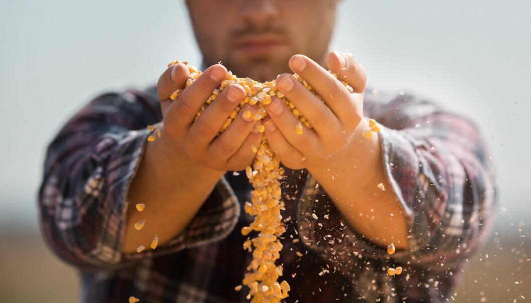 Det er mulig å dyrke fram korn på laboratoriet, men metoden er ikke feilfri. Men i framtiden kan kanskje prøverørskorn erstatte behov som åkerkorn ikke dekker, forklarer Odd-Arne Olsen.