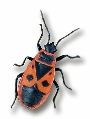 Ildtege <i>Pyrrhocoris apterus</i> Linnaeus, 1758.