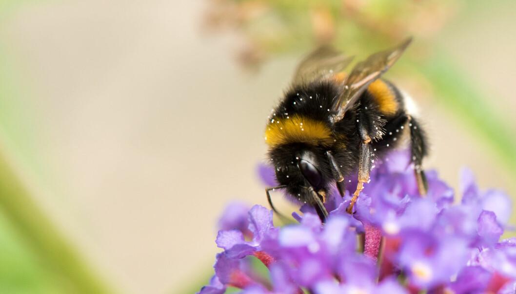 I sin praktfulle pelsbekledning er bier generelt og humler spesielt framragende pollenforflyttere, de kan simpelthen ikke unngå å fylle hårstasen med blomstersperm.