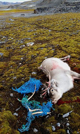 Dette reinsdyret hadde satt seg fast i fiskegarn og måtte avlives.