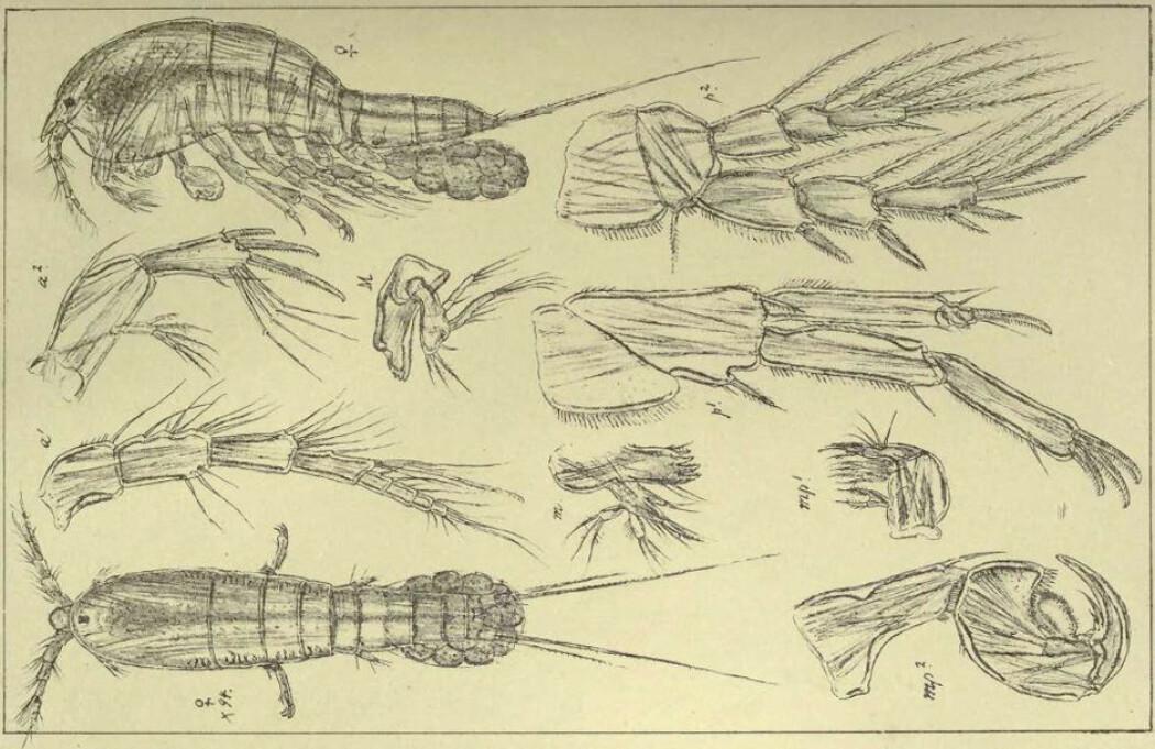 For godt over 100 år siden tegnet Georg Ossian Sars detaljerte illustrasjoner av de fleste krepsdyr i Norge. De er fortsatt viktige verktøy for dagens forskere.