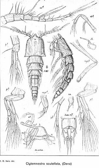 Klarer du se alle likhetene mellom denne illustrasjonen og bildet av <i>Clytemnestra scutellata?</i>