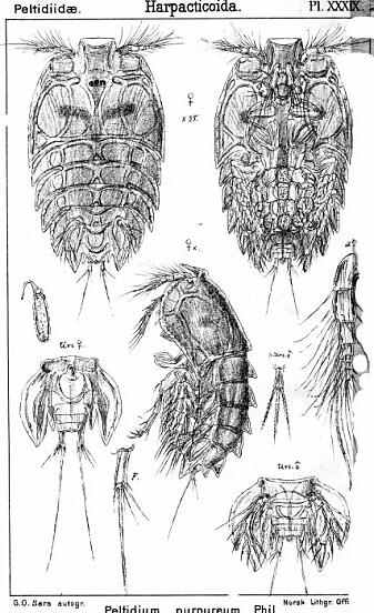 Slik så <i>Peltidium purpureum </i> ut da Sars tegnet den for over hundre år siden.