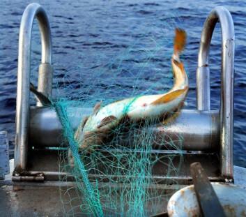 Denne torsken er fanget med et bionedbrytbart fiskegarn. Det betyr at garnet ikke vil vare for evig, selv om det skulle ende opp som søppel.