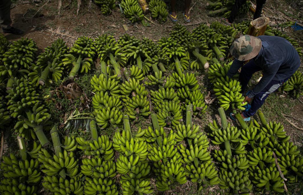 – I Norge er butikkhyllene fullpakket med søte bananer til lave priser, men på den andre siden av kloden kjemper bananbøndene en kamp mot fremmede virus, bakterier, sopp, skadedyr og insekter som kan ødelegge bananhøsten, skriver Maryia Khomich og Eirik Grov Statle.