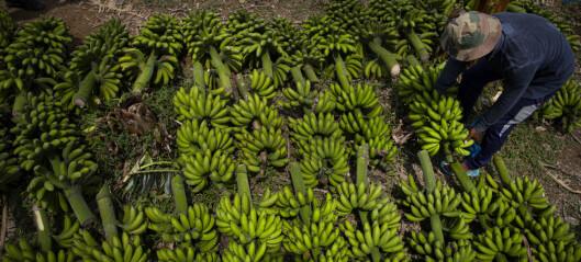 Genredigering med CRISPR er et nytt våpen i kampen mot plantesykdommer