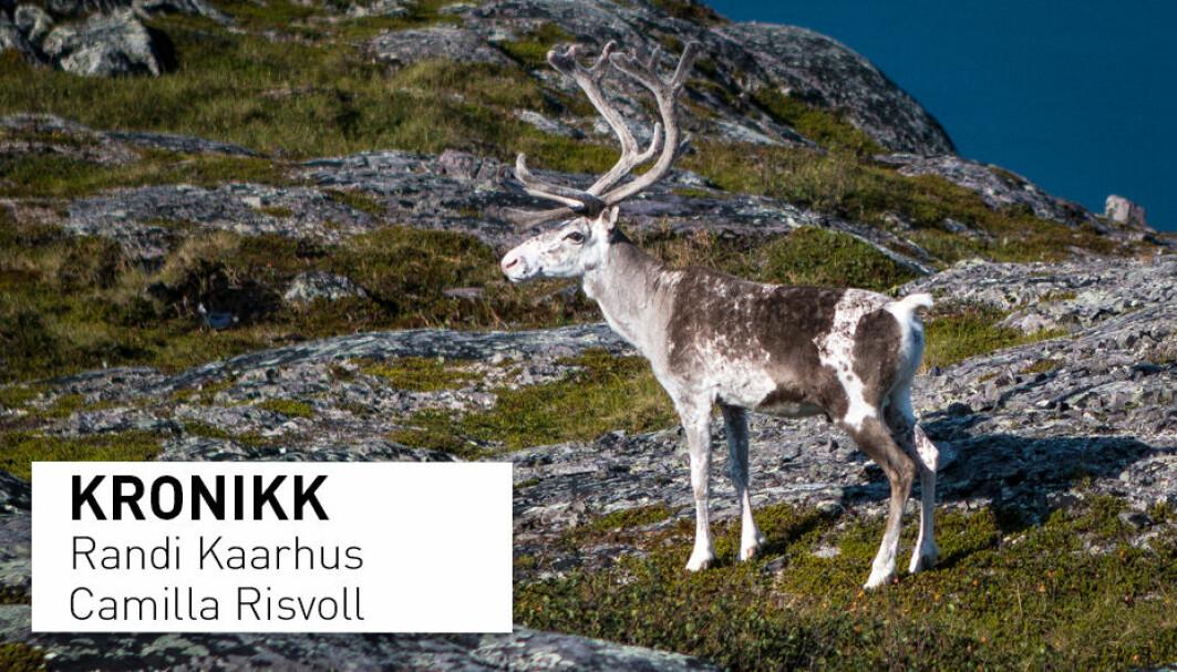 – Særlig opplever samiske reindriftsutøvere at deres erfaringsbaserte kunnskap om forholdet mellom rovdyr og beitedyr lokalt, blir ugyldiggjort når beslutninger til syvende og sist tas på sentralt nivå, skriver kronikkforfatterne.