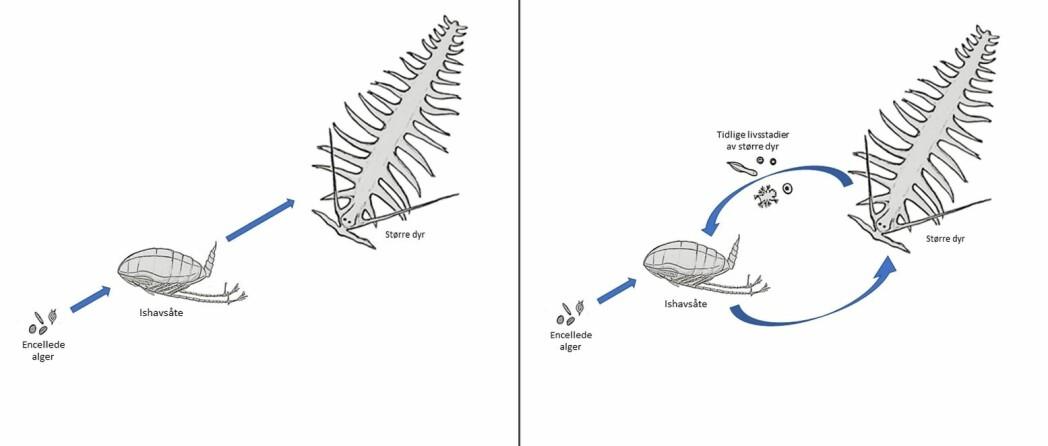 Fra studier som de på raudåta og ishavsåta ser vi nå at forskningen ikke lenger støtter en enkel modell (t.v.). I stedet for en lineær vandring fra liten til stor beveger næring og energi seg også fra stor til liten (t.h.). For eksempel ved at de tidlige livsstadiene av større dyr (her representert ved flerbørstemarken Tomopteris) blir spist av ishavsåta.