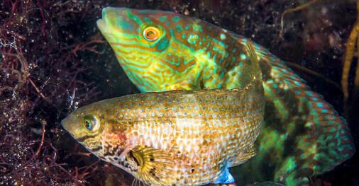 Denne norske fisken grynter når den er klar for sex