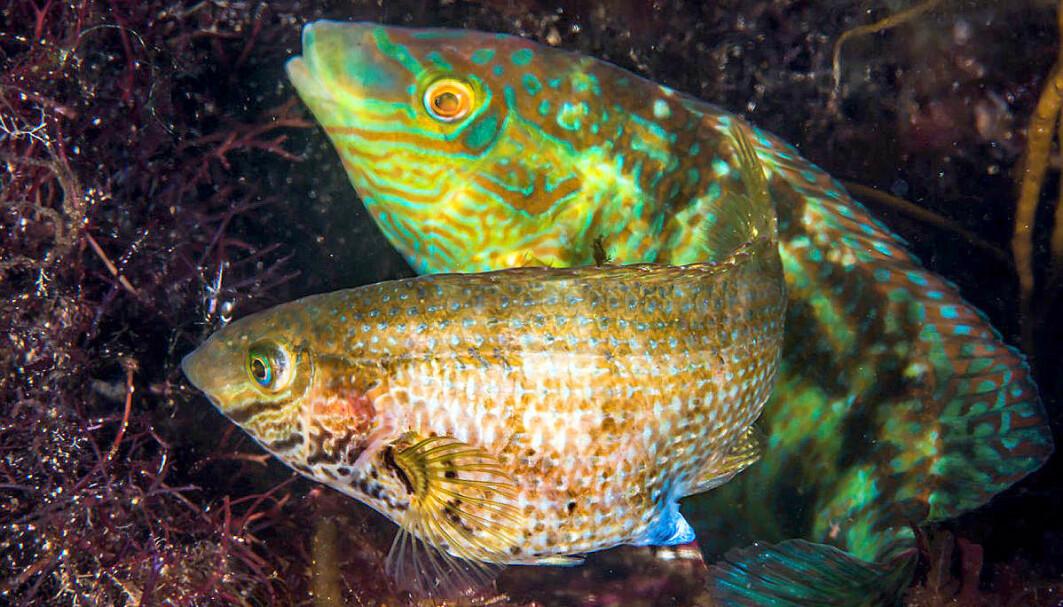 Grynt, klikk og plopp er språket til grønngylten, har forskere ved Havforskningsinstituttet funnet ut av. De advarer om at støyende motorbåter kan skape trøbbel for fiskene.