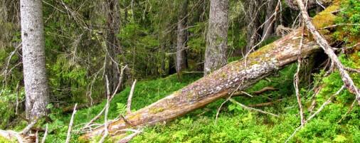 Det blir mindre av gammelskogen som rødlisteartene trenger