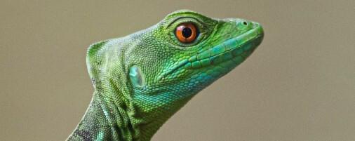 En reise blant jordbærpilgiftfrosker, iguaner og ormepadder