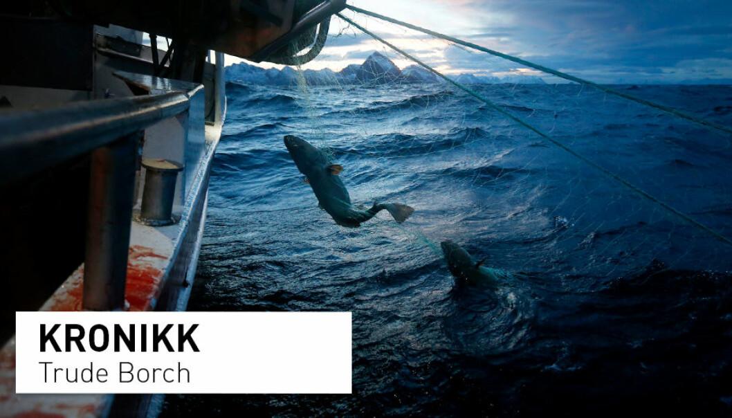 Skreien er Norges viktigste kommersielle fiskeart. Nå kan den kan miste sitt internasjonale miljømerke, skriver kronikkforfatteren.