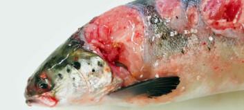 Norsk oppdrettsnæring er truet av marine bakterier
