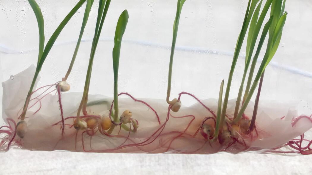 Skap ditt eget laboratorium med frø fra kjøkkenskuffen!