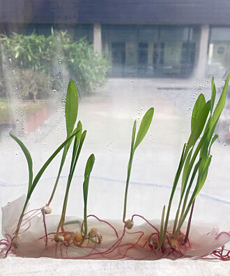Skap ditt eget laboratorium med frø fra kjøkken-skuffen!
