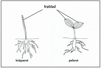Hovedforskjellene mellom enfrøbladete og tofrøbladete planter kan man se når frøet spirer hos henholdsvis enfrøbladete planter (til venstre) og tofrøbladete planter (til høyre).