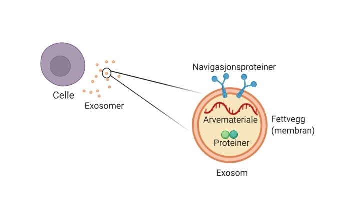 Figur 1: Cellene i kroppen vår skiller ut exosomer. Et exosom inneholder arvemateriale og ulike typer proteiner som er omringet av en fettvegg (membran).