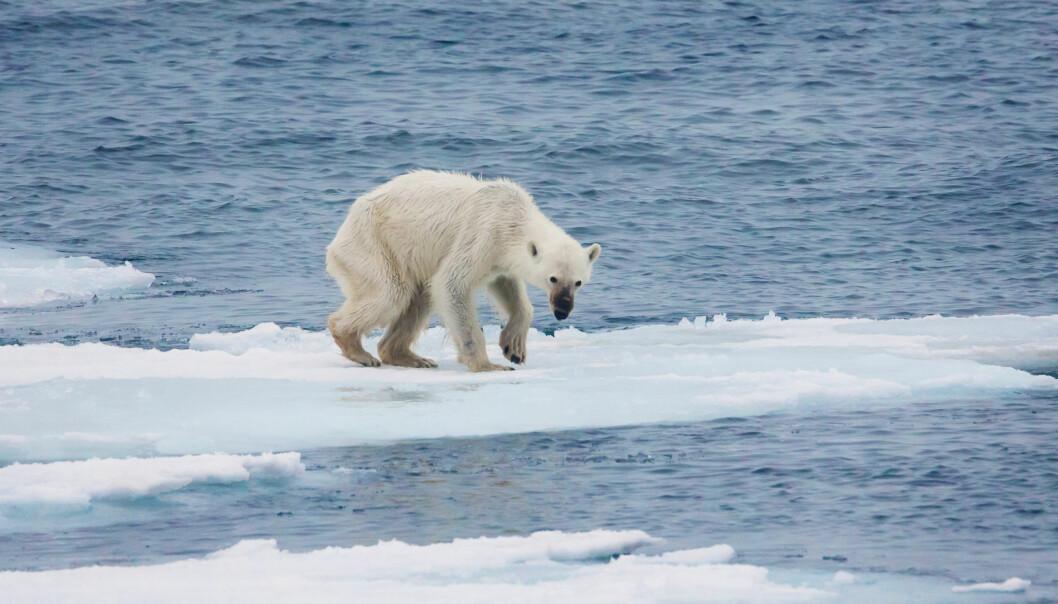 Uten isen får isbjørnen dårligere tilgang på mat og den sulter. Og det er ikke bare isbjørnen som vil få hverdagen endret når isen smelter, skriver, Cathrine Villars-Dahl.