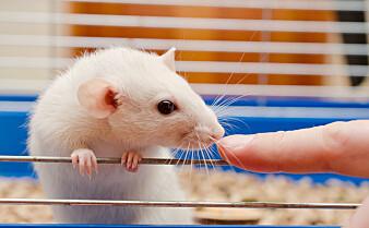 Periodisk faste hindret høyt blodtrykk hos rotter