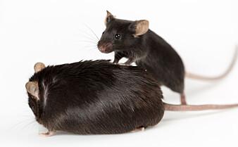 Et stoff lagd i magen bestemte om musene ble tykke