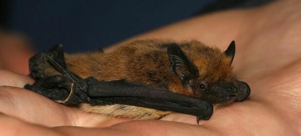 Flaggermus skjønner hvor fort lyden går helt fra de er født