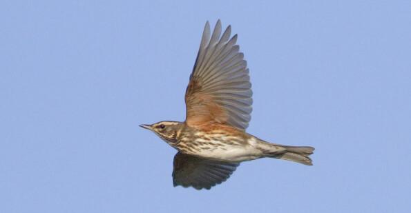 - Trekkfugler blir utmattet og dør av lysforurensning