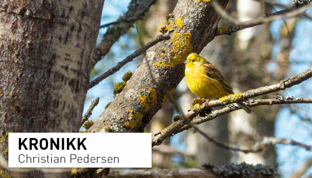 Gulspurven er av mange ansett for en vanlig fugl. Du har kanskje sett den på fuglebrettet? På grunn av langsiktig overvåking vet vi nå at den faktisk er i tilbakegang.