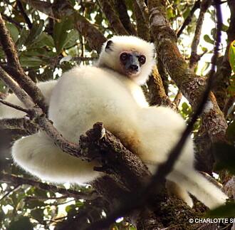 Så mange spiser lemurer på Madagaskar