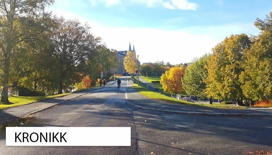 Mer enn 6000 ulike arter er registrert i Trondheim kommune. Disse trærne langs veien mot Gløshaugen campus er noen av dem.