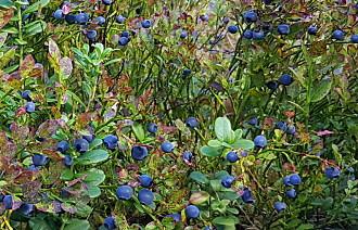 Blir det blåbær-bonanza eller katastrofeår?