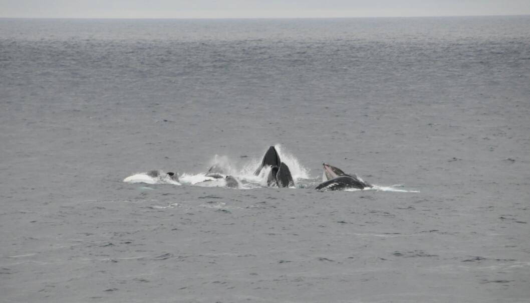 Flokk med knølhval som jager lodde ved Finnmarkskysten.
