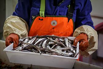 Dette er jo-jo-fisken som økosystemet dreier seg rundt