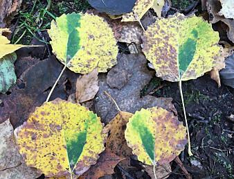 Høstens trippeldrama i ospelauvet