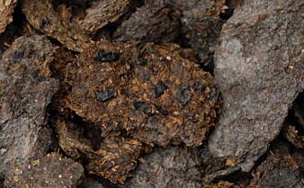 2700 år gammel avføring inneholder spor av blåmuggost og øl